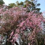 シダレ桜が見頃です!