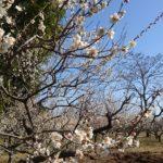 今年も梅が見頃の季節となりました